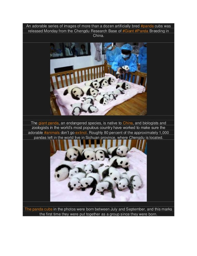 An adorable series of images of more than a dozen artificially bred #panda cubs was released Monday from the Chengdu Resea...