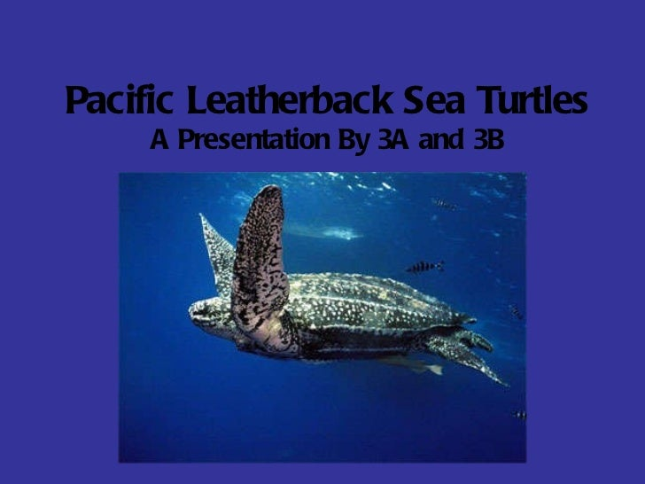 Pacific Leatherback Sea Turtles A Presentation By 3A and 3B