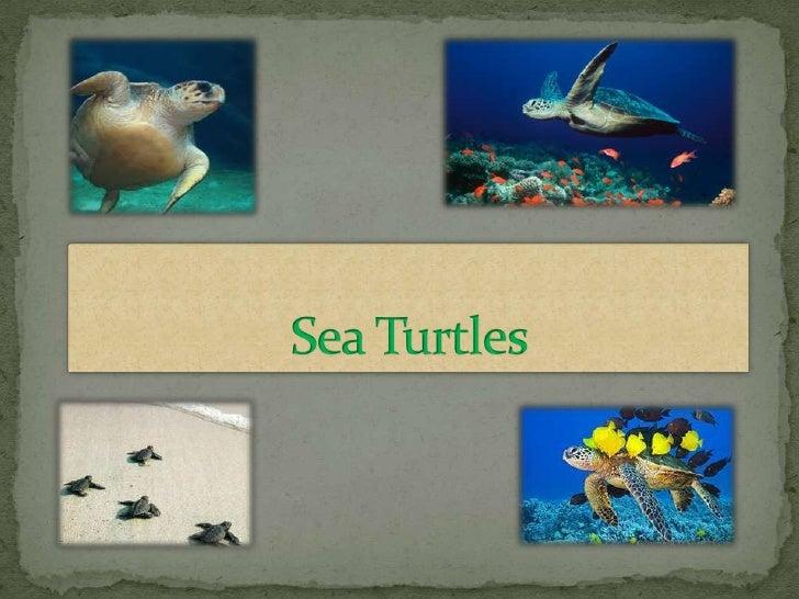 Sea Turtles  <br />