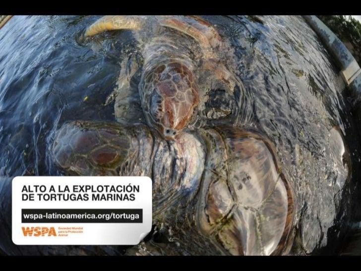 ALTO A LA EXPLOTACIÓN DE TORTUGAS MARINAS