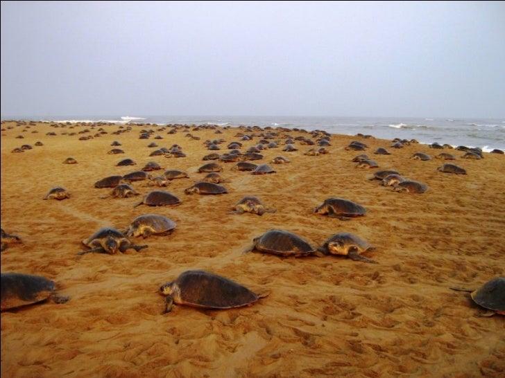 Turtles breeding site Slide 2