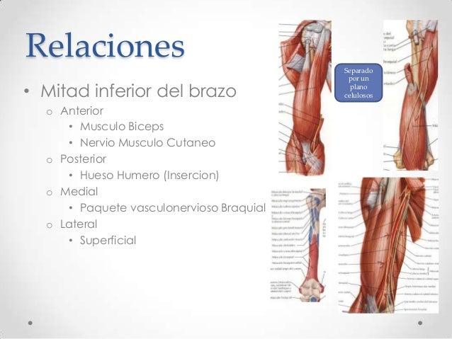Tutoría de anatomía músculos del brazo