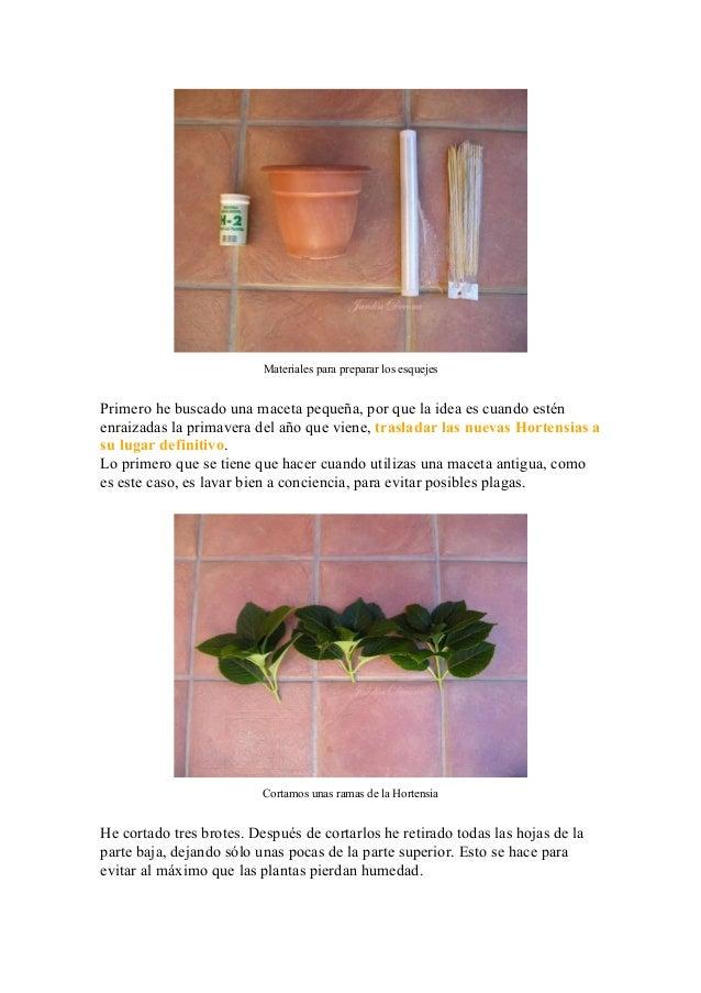 Tutorial para hacer esquejes de hortensias - Cuando podar hortensias ...