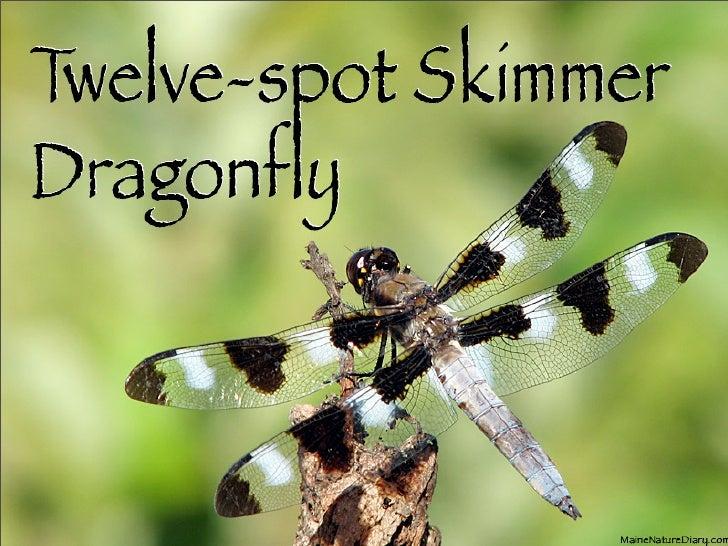 Twelve-spot Skimmer Dragonfly