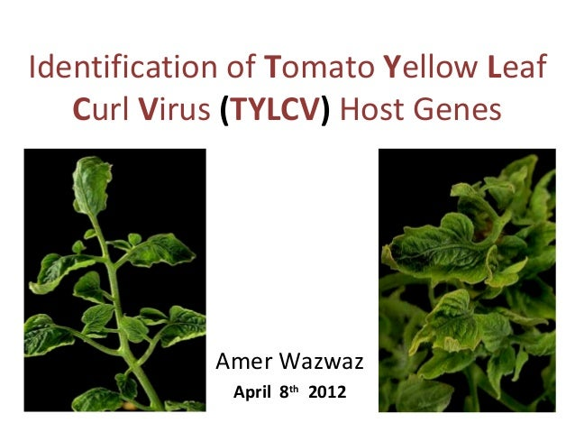 Identification of Tomato Yellow Leaf Curl Virus (TYLCV) Host Genes  Amer Wazwaz April 8th 2012