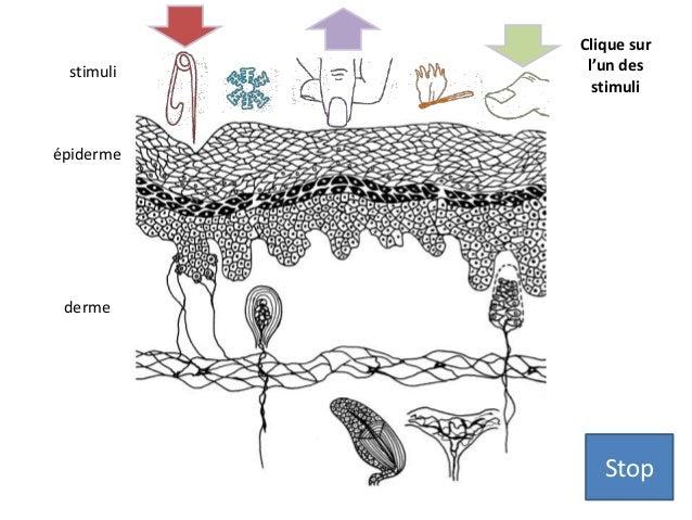 épiderme  derme  Clique sur  l'un des  stimuli  stimuli  Stop