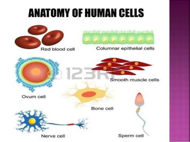 Types of cells in the body class 8