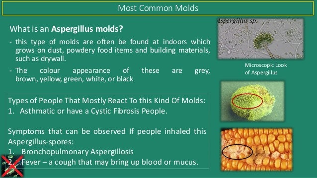 What is an Aspergillus molds? - this type of molds are often be found at indoors which grows on dust, powdery food items a...