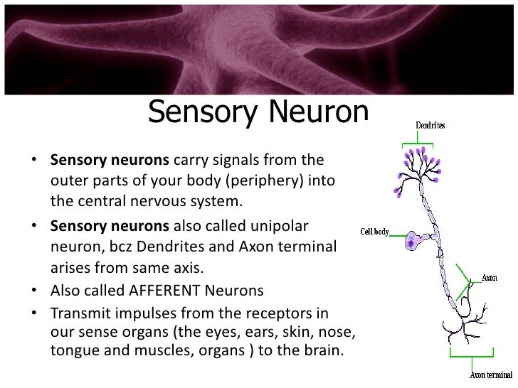 Types of neuron for What is a motor neuron