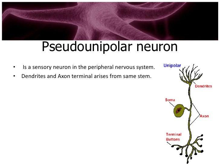 Types of neuron
