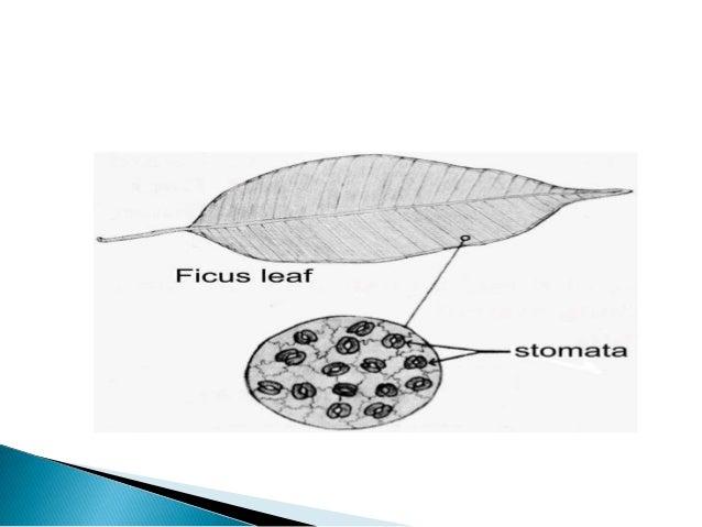 Types Of Stomata