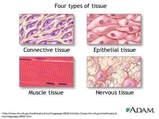 Types of tissue in the body