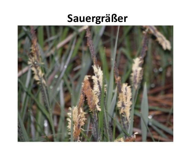 Sauergräßer