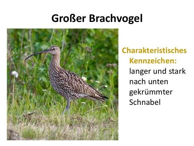 Großer BrachvogelCharakteristischesKennzeichen:langer und starknach untengekrümmterSchnabel
