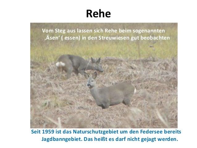 ReheVom Steg aus lassen sich Rehe beim sogenannten'Äsen' ( essen) in den Streuwiesen gut beobachtenSeit 1959 ist das Natur...