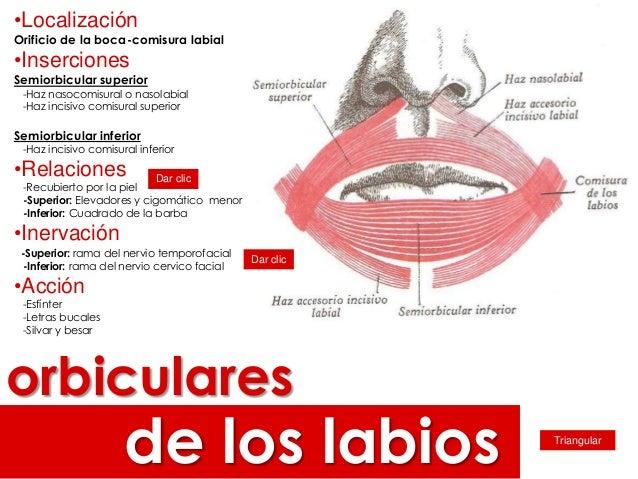 Músculos de los labios Slide 2
