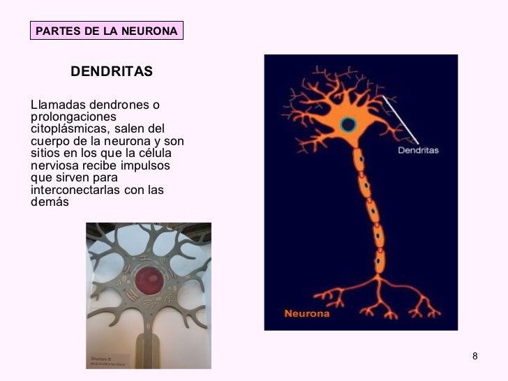 Famoso Anatomía De Una Célula Nerviosa Motivo - Anatomía de Las ...