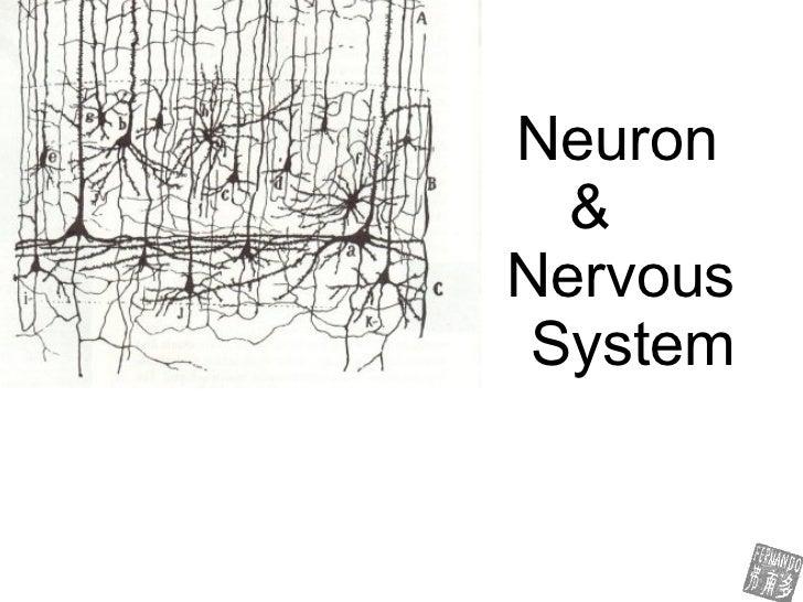 Neuron  &    Nervous  System