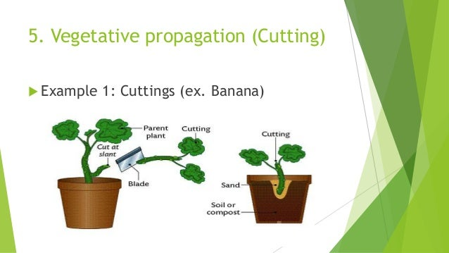 Layering in vegetative propagation asexual reproduction