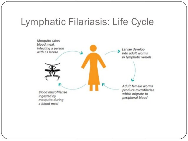 the life cycle of filariasis that causes the elephantiasis disease Most sought treatment first from voodoo priests and traditional  filariasis, the  mosquito-borne infection that causes elephantiasis, the  that their disease is  caused by a parasite with a complex life cycle and an insect vector.