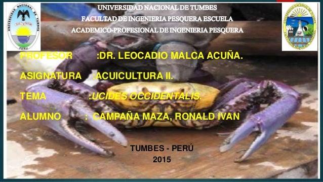 Ucides occidentalis
