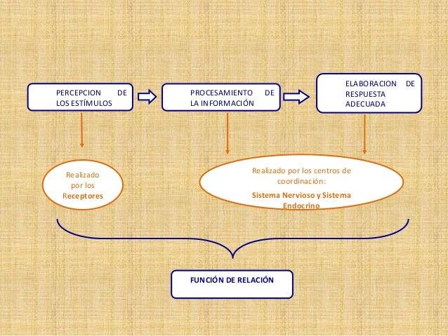 Realizado por los Receptores FUNCIÓN DE RELACIÓN ELABORACION DE RESPUESTA ADECUADA Realizado por los centros de coordinaci...