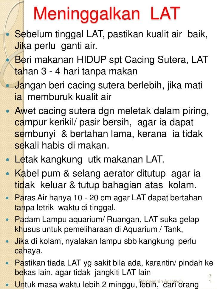 Cara Ternak Udang Kara Lobster Air Tawar Lat Di 017 2839861