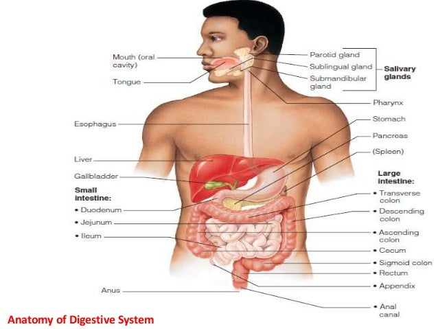 Dorable Upper Gi Tract Anatomy Image - Anatomy And Physiology ...