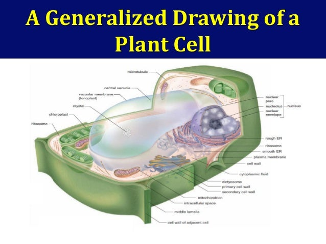 Lecture 2 17 a generalized drawing of a plant ccuart Image collections