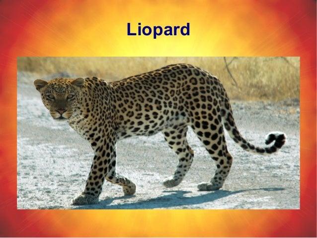 Liopard