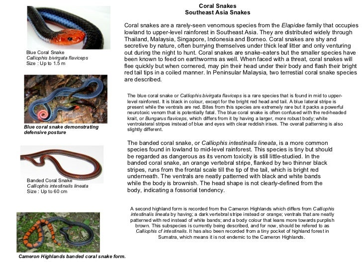 Blue Coral Snake Calliophis bivirgata flaviceps  Size : Up to 1.5 m  Blue coral snake demonstrating  defensive posture   B...