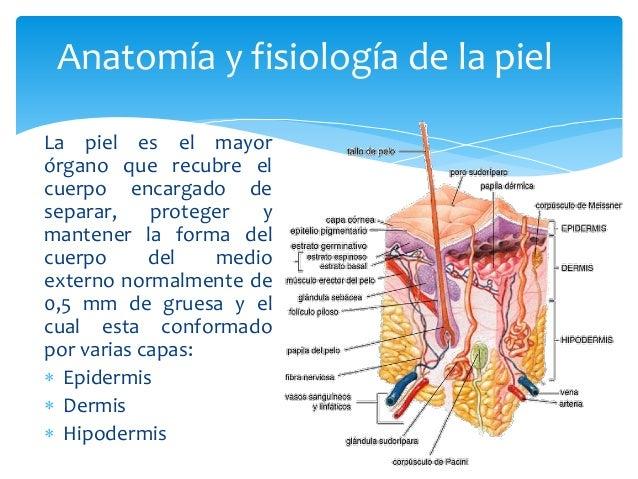 Anatomía y fisiología de la piel  La piel es el mayor  órgano que recubre el  cuerpo encargado de  separar, proteger y  ma...