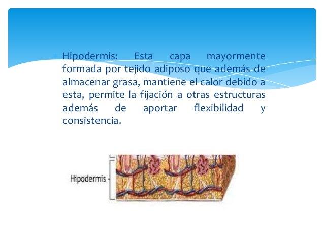  Hipodermis: Esta capa mayormente  formada por tejido adiposo que además de  almacenar grasa, mantiene el calor debido a ...