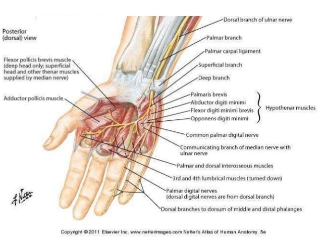 Anatomy And Examination Of Ulnar Sciatic Nerves