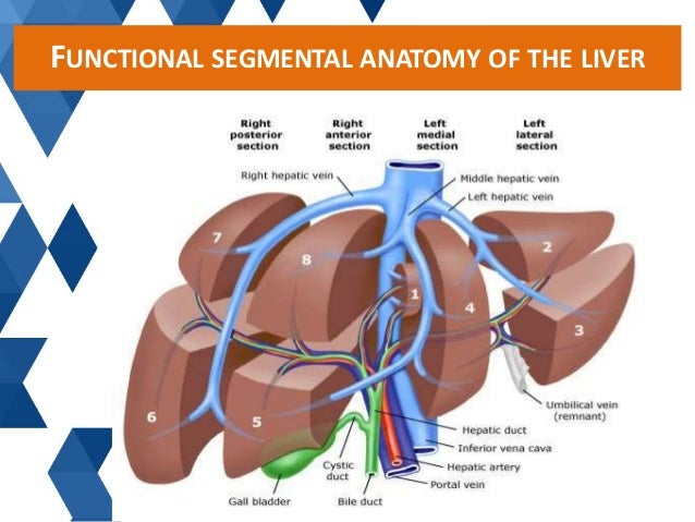Vascular Anatomy Of Liver 5830322 Follow4morefo