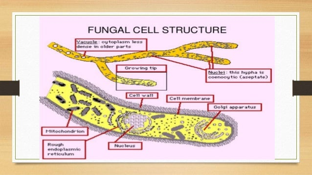 ultrastructure of fungal cell and different type of Fungal Cell Drawing 11