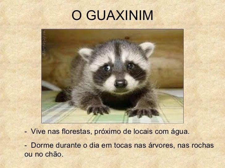O GUAXINIM- Vive nas florestas, próximo de locais com água.- Dorme durante o dia em tocas nas árvores, nas rochasou no chão.