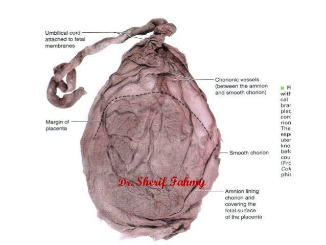 Umbilical Cord (General Embryology)