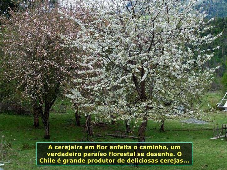 A cerejeira em flor enfeita o caminho, um verdadeiro paraíso florestal se desenha. O Chile é grande produtor de deliciosas...