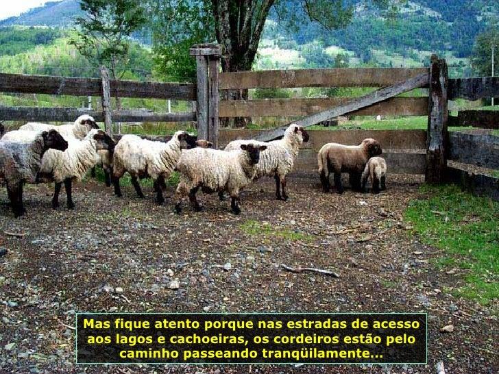 Mas fique atento porque nas estradas de acesso aos lagos e cachoeiras, os cordeiros estão pelo caminho passeando tranqüila...