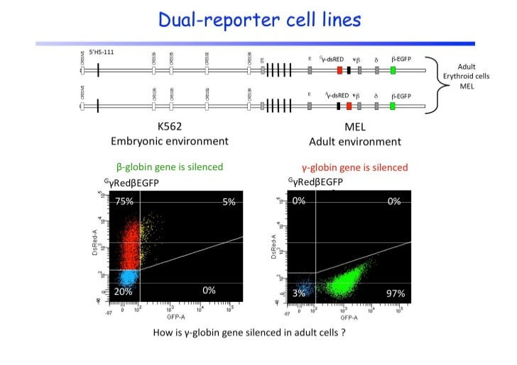 Development of in vivo model system to study reactivation or derepression of    d       i i        d        i    f        ...