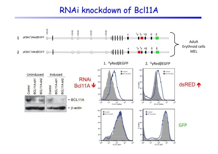 Summary - 1•   Mechanistically,    Mechanistically loss of BCL11A in primary adult erythroid cells    has been shown to re...
