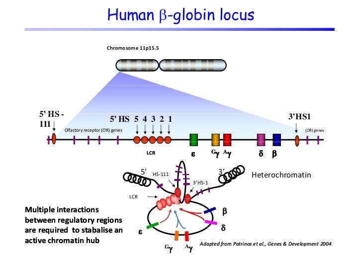 Human -globin locus                                   Chromosome11p15.5    5' HS -                                      ...