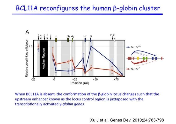 Common histone modifications within the         human β-globin locus               Inprimaryadulthumanerythroidprogen...