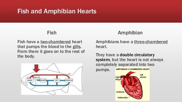 Understanding the heart utap project 1 4 fish and amphibian hearts ccuart Image collections