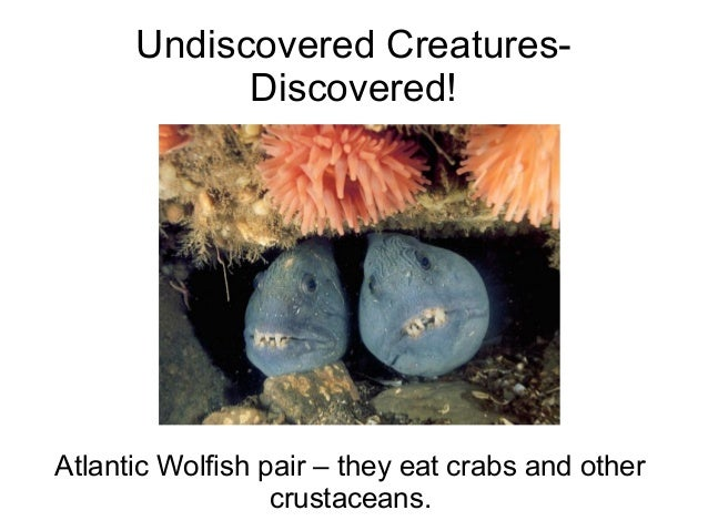 Undiscovered Creatures- Discovered! Atlantic Wolfish pair – they eat crabs and other crustaceans.