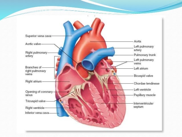 Anatomy Lab 6 Cardiovascular Sys