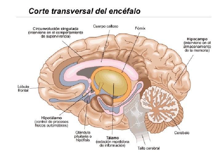 Unida 2 Estructura Y Función Del Sistema Nervioso