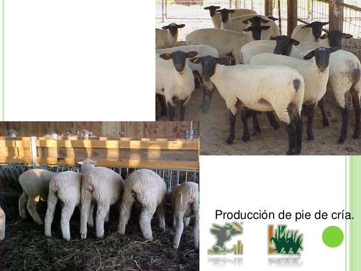 Sistema de producción vaca becerro (becerros al destete).<br />