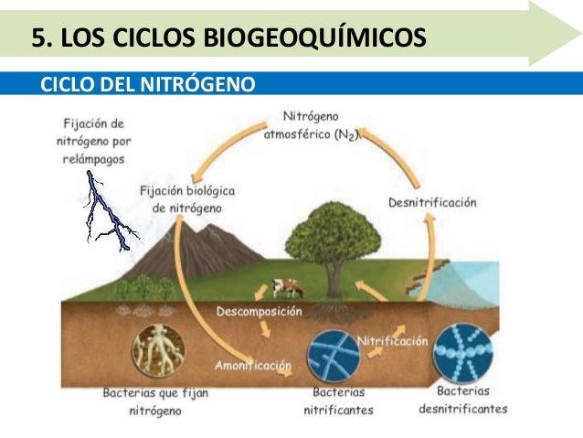 CICLO DEL NITRÓGENO 5. LOS CICLOS BIOGEOQUÍMICOS